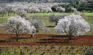 Almendros en flor en Sant Joan de Labritja